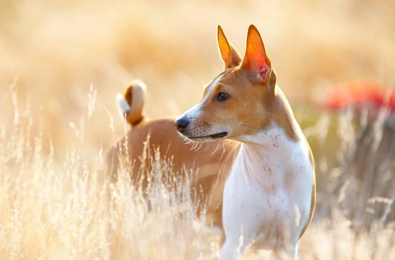 Basenji to niewielkie psy, które osiągają wagę od 9,5 do 11 kg. Ich krótka sierść nie wymaga skomplikowanej pielęgnacji, a dzięki niewielkiemu linieniu