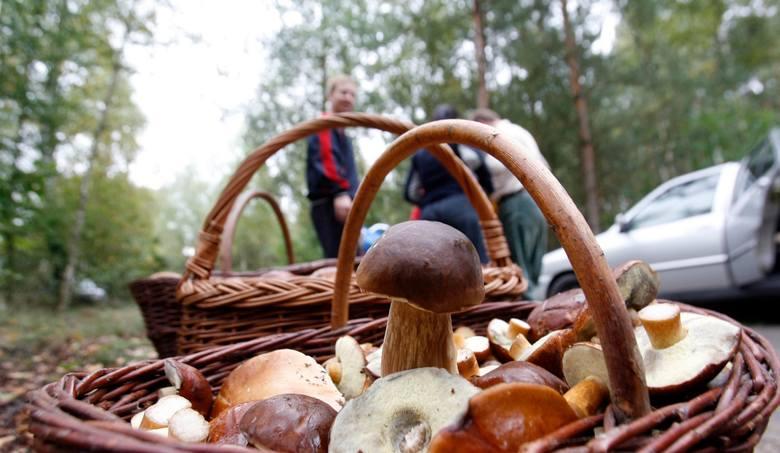 Pogoda wciąż sprzyja wczesnemu sezonowi grzybowemu na Dolnym Śląsku, podczas którego królują borowiki szlachetne, koźlarze i pieprzniki jadalne (popularne