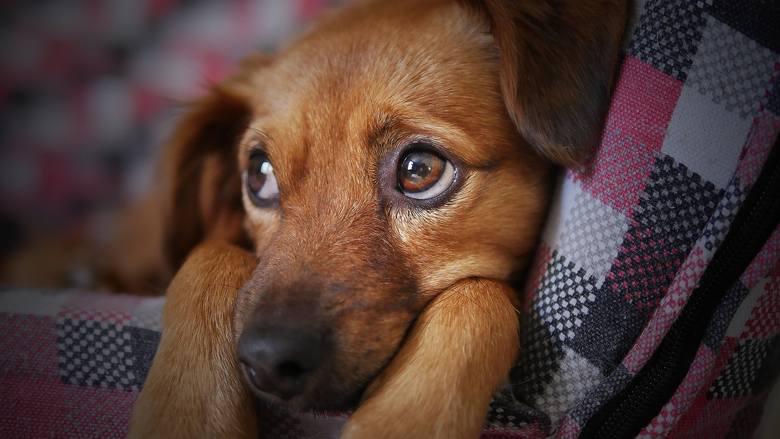 podatek od psa, podatek od psa w Żarach