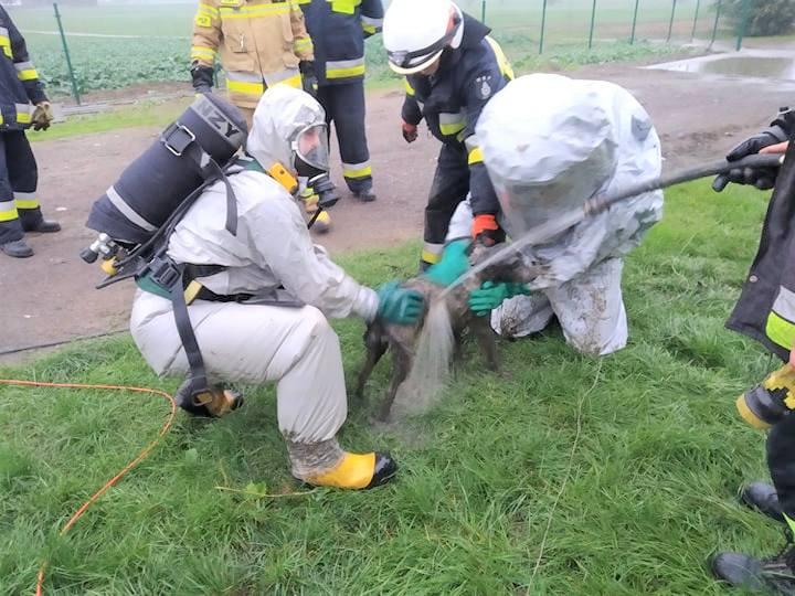 Strażacy z OSP Dobrcz nie po raz pierwszy ratowali zwierzęta. Tym razem  - psa, który wpadł do odkrytego szamba przy ul. Długiej w Kotomierzu. Strażacy