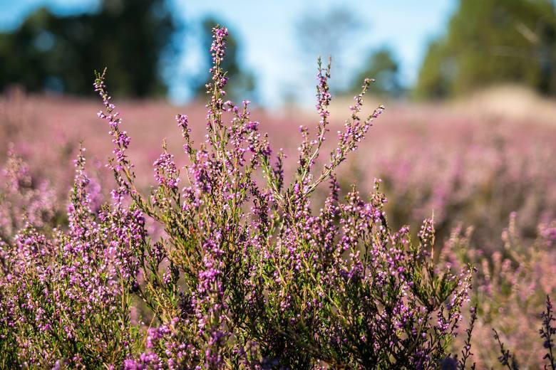 W lasach regionu łódzkiego zakwitły już wrzosy. W tym roku kwitną od góry, co według ludowych wierzeń zapowiada ciepłą zimą.Kwitnące powoli wrzosy zapowiadają