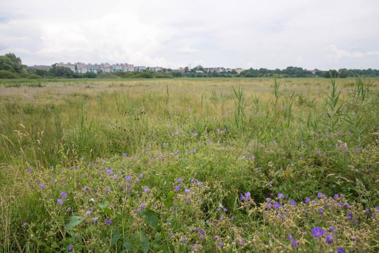 -  Dodać należy, iż zaprzestanie koszenia trawników utrzymywanych do tej pory w reżimie wielokrotnego koszenia spowodować może uwolnienie alergenów (pyłki traw), intensyfikację produkcji pyłków oraz problem natury estetycznej – trawy po wydaniu nasion przestają rosnąć i usychają - tłumaczy...