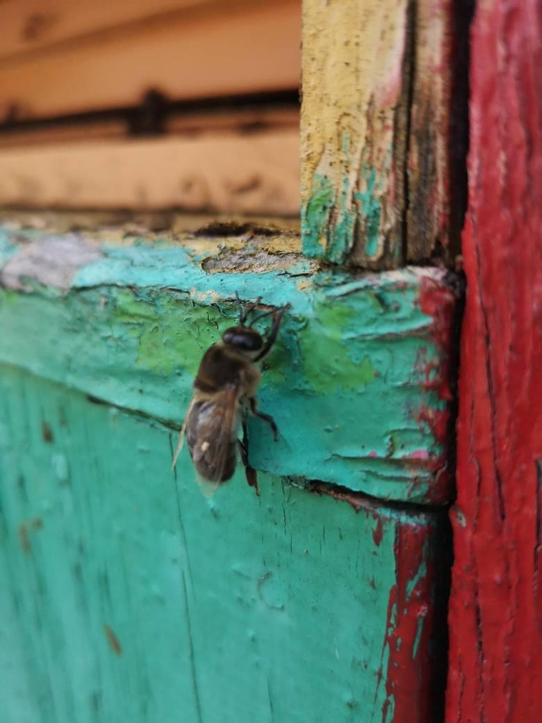 To też była Wielkanoc, ale rok temu. Koło Nowej Soli spłonął milion pszczół. Lubuszanie nie byli obojętni. Pomogli odbudować pasiekę