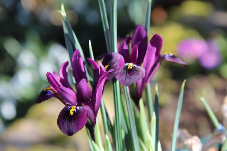 Irysy żyłkowane (Iris reticulata) nie są może bardzo okazałe, bo dorastają do 15-20 cm wys., ale same kwiaty mają stosunkowo duże. Ich wielką zaletą