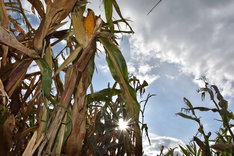 Zadłużenie 12 rolników w powiecie inowrocławskim pod koniec grudnia 2020 roku wyniosło 894 251,26 zł. Mieli oni 72 zobowiązania - podaje KRD