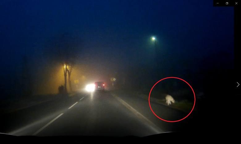 Puma grasuje w Bieruniu? Kierowca nagrał zwierzę. Zobacz WIDEO. Na filmie jest puma czy pies?