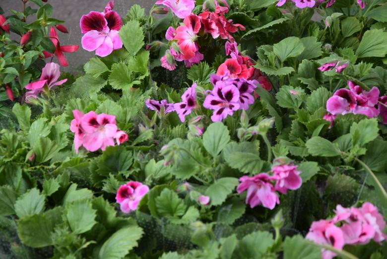 Krzewy i kwiaty do ogrodu i doniczek na targowiskach w Rzeszowie. Zobacz, co się sprzedaje [ZDJĘCIA]
