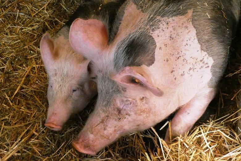 Ile zarobi hodowca świń? Ceny żywca wieprzowego w regionie i nie tylko