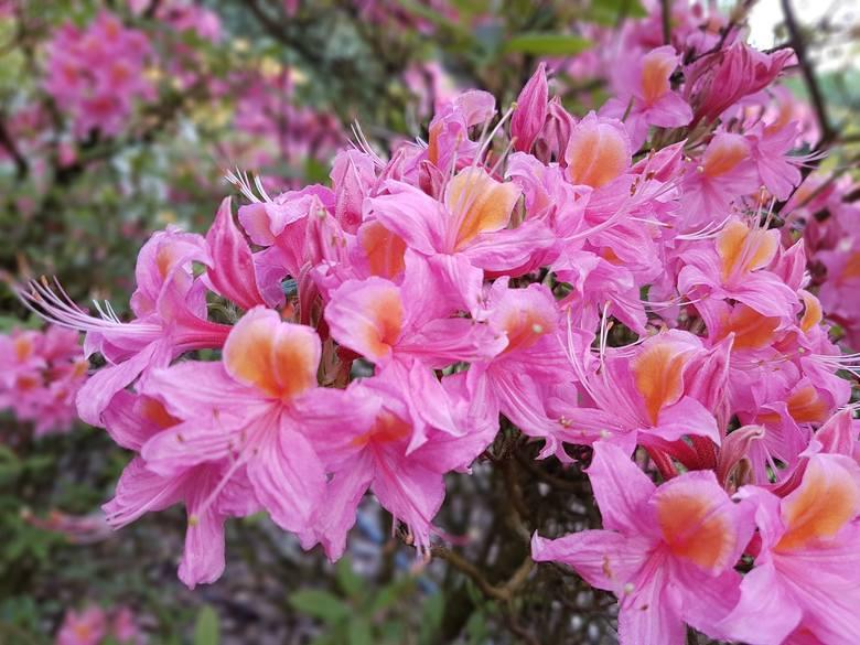 Kwitnące krzewy to prawdziwa ozdoba ogrodu. Zobaczcie, jakie warto mieć.