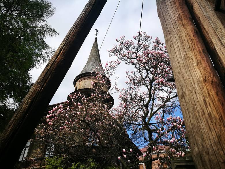 """Sienkiewicza 6<br /> Przy ulicy pełnej zabytkowych will spotkać możemy dwa drzewa magnolii """"Alexandrina"""". Drzewa znajdują się za pięknym kutym ogrodzeniem z inicjałami """"A.M."""", przy eklektycznej willi z okrągłą narożną basztą. Inicjały """"A.M."""" oznaczają budowniczego Alfonsa Mattera, który w końcu..."""