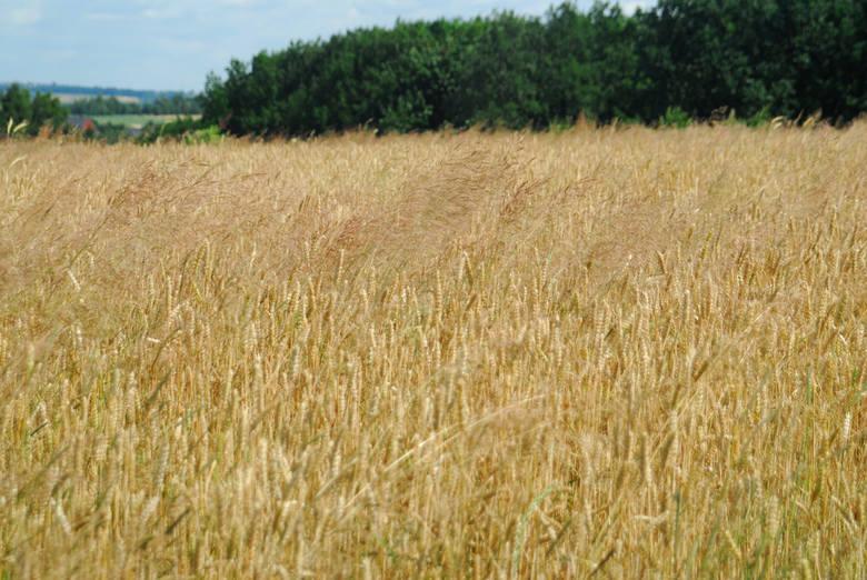 We wrześniu cena pszenicy ogółem powinna wahać się w granicach 660 - 690 zł/t, a w grudniu 670 - 715 zł/t. Dla porównania  - we wrześniu ubiegłego roku