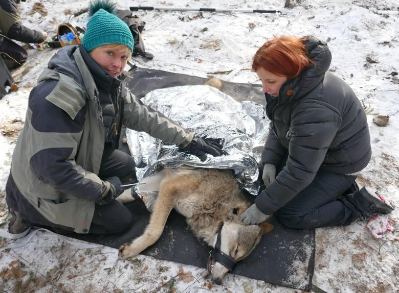 Cudem uratowany pod Ciechocinkiem wilk Miko zginął z rąk myśliwego. Nie on jeden