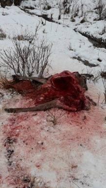W Hańczowej wilki schodzą do wsi! Na razie atakują zwierzęta leśne. Giną też psy [DRASTYCZNE ZDJĘCIA] 17.02.2020