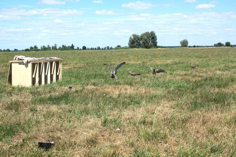 Kulik  to jeden z największych europejskich siewkowców