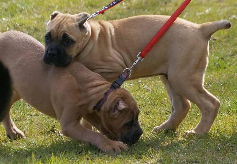 Na inowrocławską wystawę zgłoszono 858 psów, przedstawicieli 160 ras