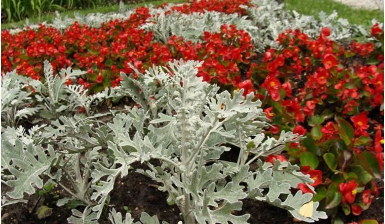 Rośliny o srebrnych liściach są ciekawym urozmaiceniem rabat, a niektóre z nich można również uprawiać na balkonie. Polecamy rośliny, które są łatwe