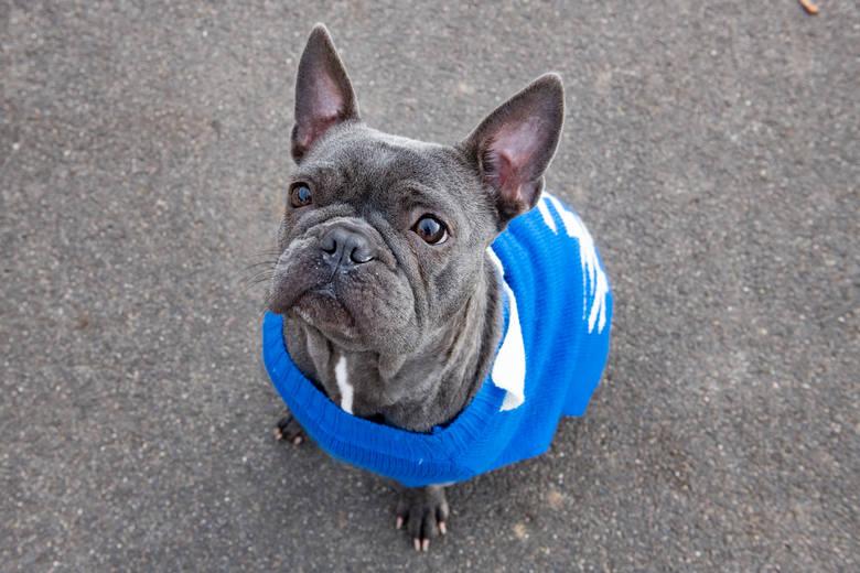 W zeszłym roku fundacja Animalove odebrała kolejne 30 psów, w tym buldoga francuskiego - Wojnę.