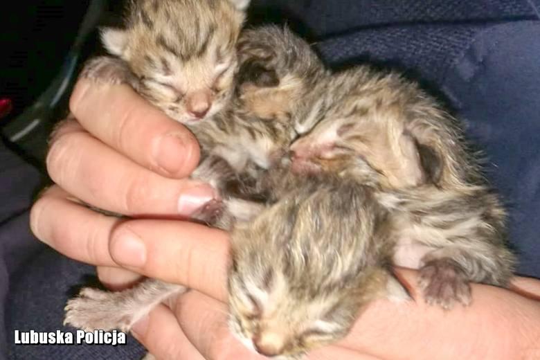 - Sławscy policjanci priorytetowo podeszli do sprawy wyrzucenia do kosza na śmieci pięciu małych kotów. Efektem ich działań jest zatrzymanie 60-letniej