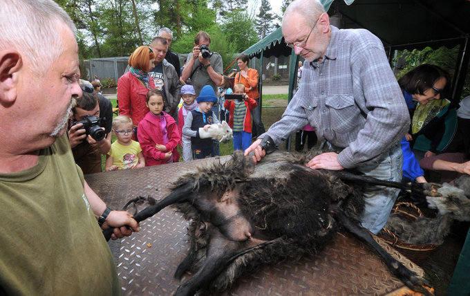 Myślęcinek. Wielkie golenie owiec w zoo [WIDEO, ZDJĘCIA]