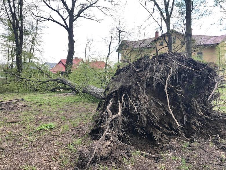 W parku na Miłocinie w Rzeszowie runęło duże drzewo [ZDJĘCIA]