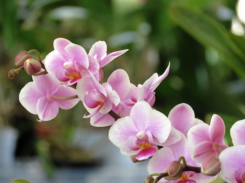 Pięknie kwitnące storczyki można kupić nie tylko w kwiaciarniach czy sklepach ogrodniczych, ale też niemal w każdym supermarkecie. Niestety zdarza się,