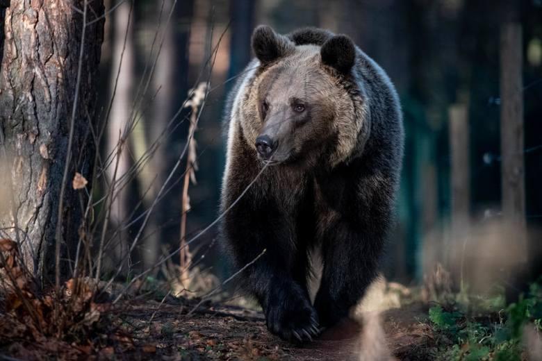 - W poznańskim zoo przebywa niedźwiedź Baloo odebrany interwencyjnie przez nas z cyrku na Śląsku. Wcześniej niedźwiedzia oglądało 18 lekarzy weterynarii, którzy nie zauważyli, że nie ma on pazurów, że ma zwyrodnienia ruchu - opowiada Anna Plaszczyk z fundacji Viva!