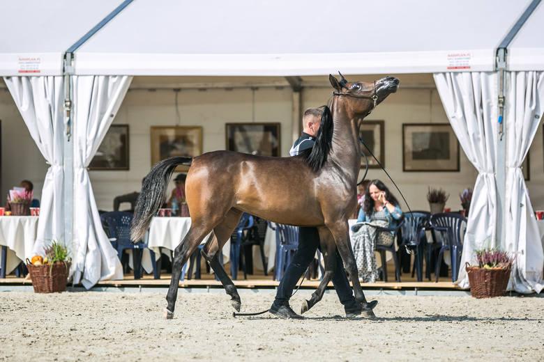 50. Aukcja Pride of Poland ma stanowić okazję do wzbogacenia hodowli o najcenniejsze okazy koni arabskich czystej krwi.