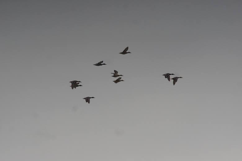 Kolejne ognisko ptasiej grypy na Pomorzu, tym razem w Węsiorach w pow. kartuskim. Zutylizowano ok. 30 tys. ptaków!