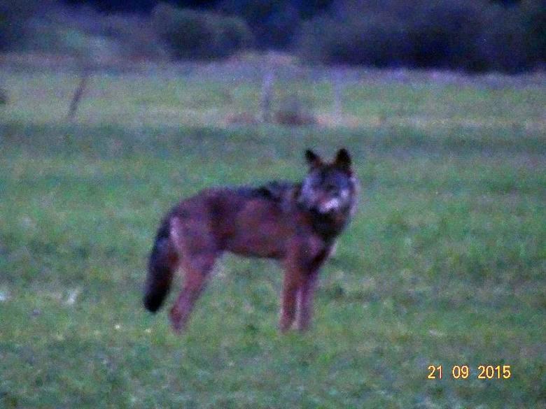 Wilki w gminie Santok