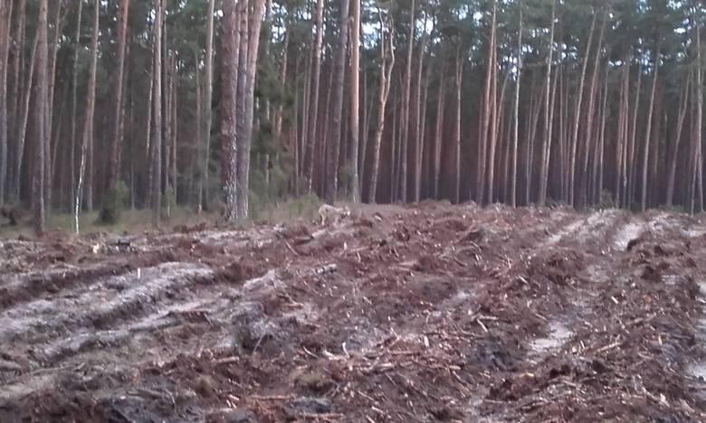 Ślady wilków w powiecie grudziądzkim.