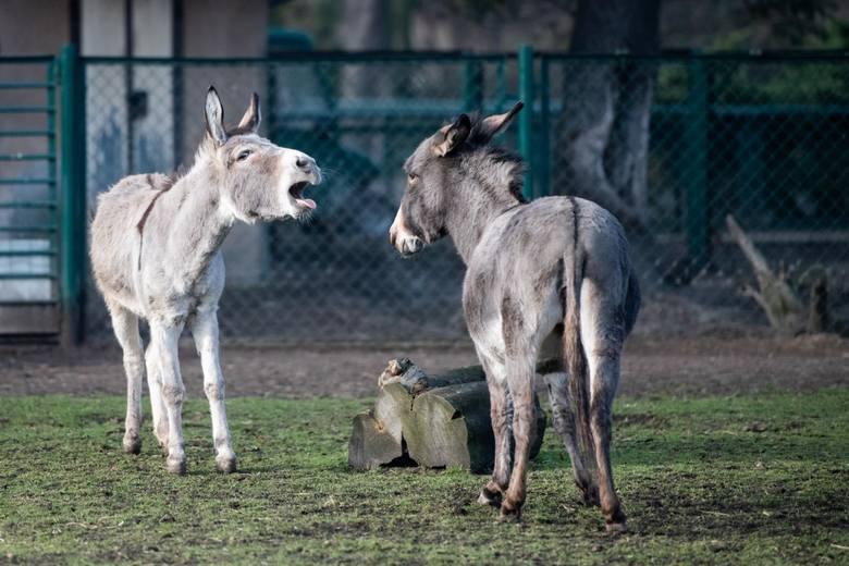 Mimo braku publiczności życie w poznańskim zoo toczy się swoim trybem, ale odrobinę wolniej. Zwierzęta poczuły zew wiosny.