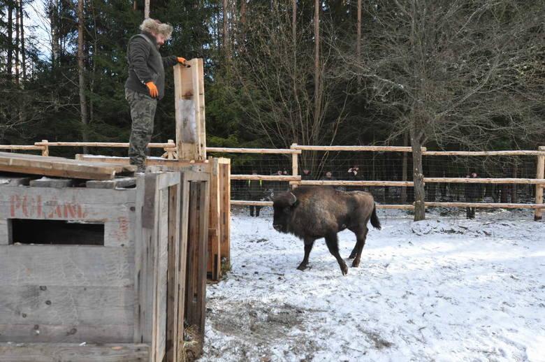 Samiec i trzy młode samice zostały przewiezione do zagrody adaptacyjnej znajdującej się na terenie Nadleśnictwa Augustów.