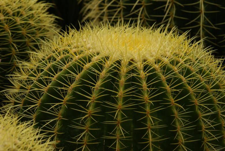 Jego charakterystyczną cechą są żółte ciernie oraz… potoczna nazwa. Nie są zbyt wysokie. Jeden z większych okazów we wrocławskim Ogrodzie Botanicznym,