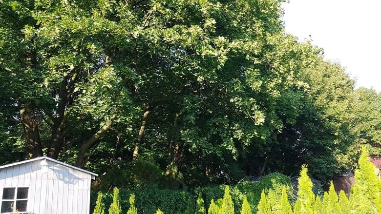Latem nie będzie tutaj już tak zielono. Wkrótce te drzewa zostaną wycięte