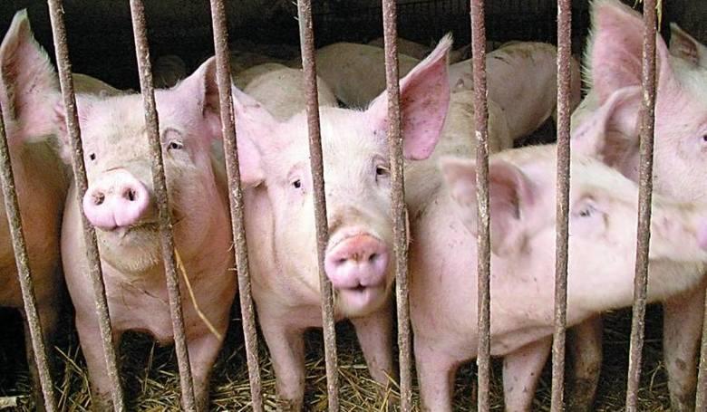 Ile dostanie hodowca za świnie w skupie? Według prognoz, więcej