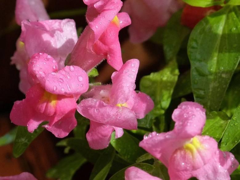 Lwie paszcze o różowych kwiatach