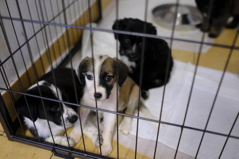 Prawie 70 młodych znajduje się obecnie pod opieką toruńskiego przytuliska dla bezdomnych zwierząt. Małe psy i koty trafiają tam po tym, jak pozbywają