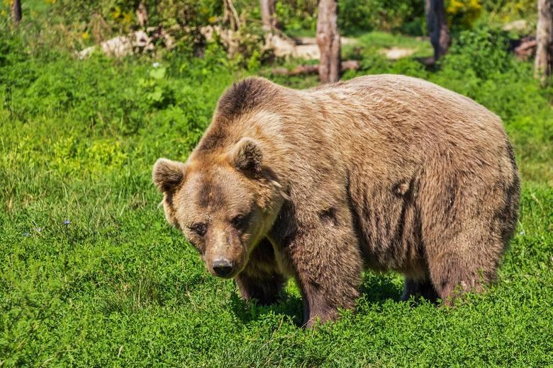 Uwaga turyści! W Pieninach pojawił się niedźwiedź. Można go spotkać na szlakach
