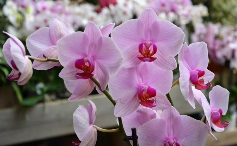 Nie ma chyba piękniejszej rośliny doniczkowej niż kwitnący storczyk z rodzaju falenopsis. Kiedy jednak roślina kończy kwitnienie, nie jest już tak atrakcyjna,