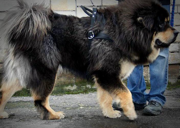 Pierwsze miejsce w rankingu najdroższych ras psów zajmuje mastiif tybetański. W Polsce cena szczeniąt z rodowodem sięga 12 tysięcy złotych. Mastify pochodzą