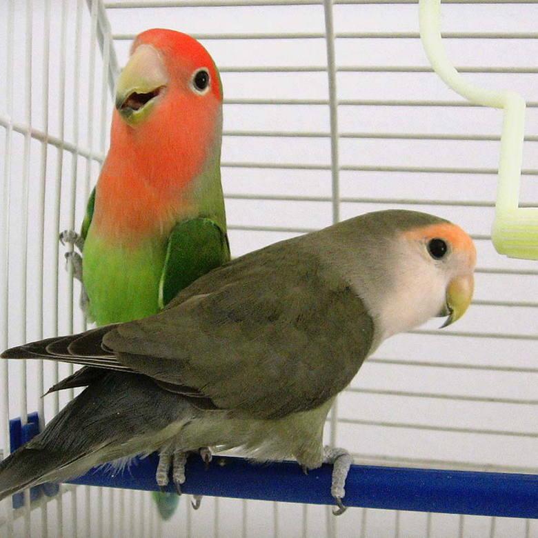 Papugi zaalarmowały właścicielkę o kradzieży