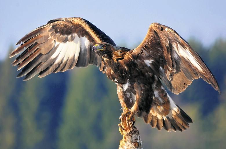Orły przednie żyją głównie w Karpatach, ale ten był widziany pod Skwierzyną.