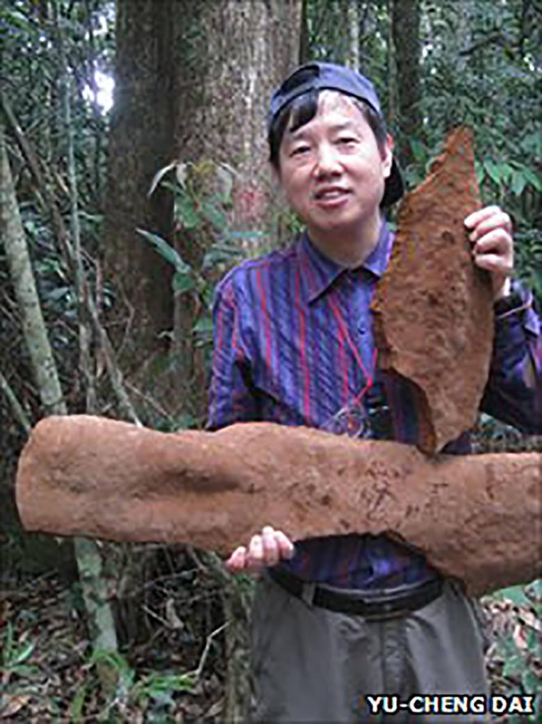 Na stronie biurorekordow.pl można znaleźć informacje o rekordowym grzybie z Chin. Nie chodzi jednak o klasyczny owocnik, lecz o narośl na drzewie o wymiarach