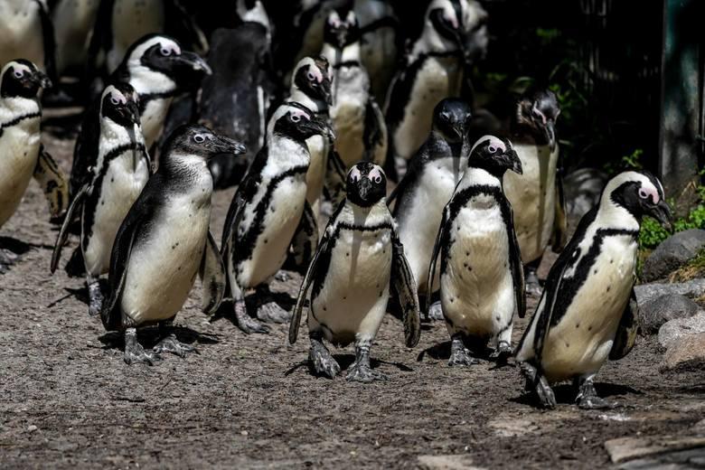 Do stada gdańskich pingwinów dołączyło 18 pingwinów z Łodzi. Ptaki przyjechały do nas gościnnie, ponieważ w ich ogrodzie trwa remont wybiegu.