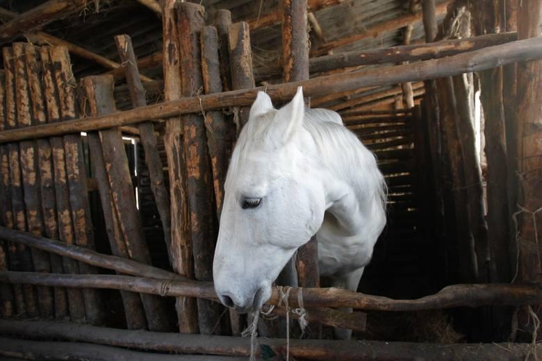"""""""Wiesław Czul i jego żona Magdalena mają nadzwyczajne moce przyciągania trudnych końskich przypadków, uzdrawiania ich życia i opiekowania się nimi aż"""