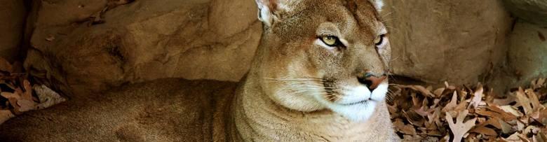 Puma w Santiago, ChileDrapieżnik w stolicy to zjawisko niezwykłe. O obecności pumy w Santiago, stolicy Chile, poinformowały 24 marca chilijskie władze.