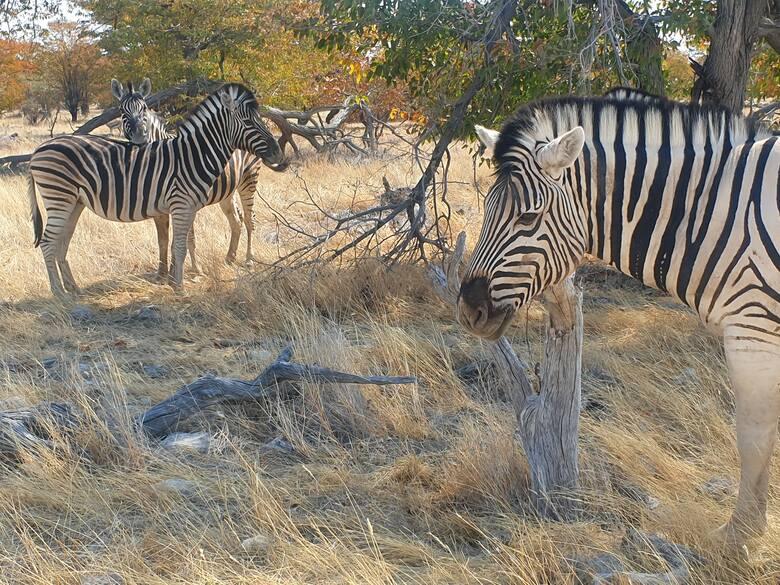 Zebry. Etosha Park