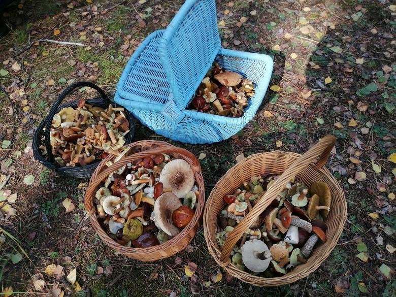 Trwa wysyp grzybów w centralnej Polsce i województwie łódzkim. Takiej ilości grzybów w naszych lasach dawno nie było. I wiele wskazuje na to, że to jeszcze