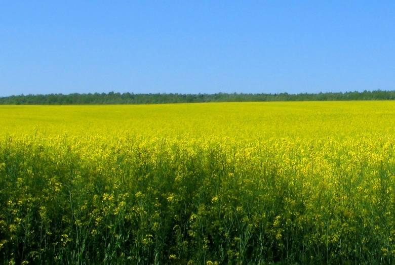 Problemu z roundupem by nie było, gdyby nasiona z pryskanego rzepaku przeznaczane były  wyłącznie do produkcji biopaliwa. Tak jednak nie jest.