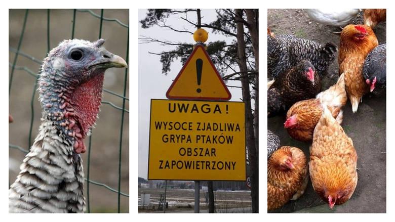 Agro wieści. Pogrom - tysiące indyków i kur do wybicia przez ptasią grypę, walka o zapłaty dla rolników